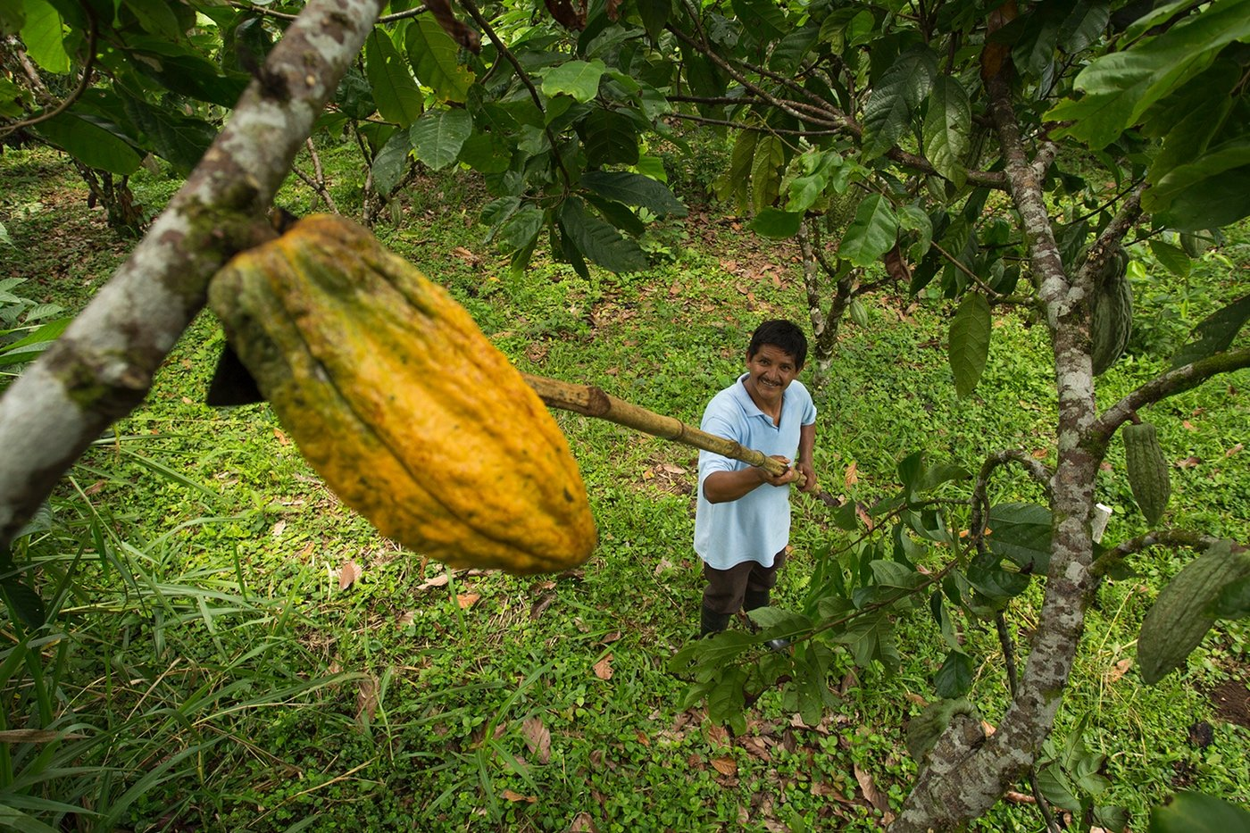 Child looking up at cocoa pod
